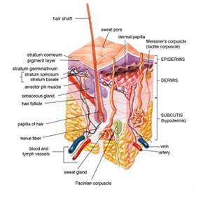 human keratinocytes guardians of the skin diagram of blood type o diet diagram of blood type o diet