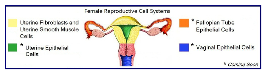 human female reproductive cells research, Muscles