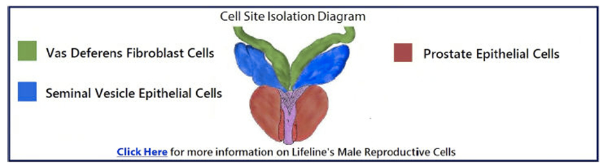 Human Male Reproductive Cells Research