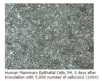 mammary cells