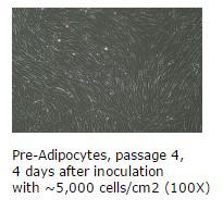 pre-adipocytes