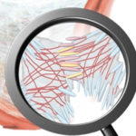 Human fibroblasts Role in Homeostasis
