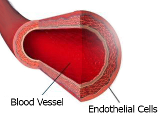 Blood Vessel Endothelial Cells