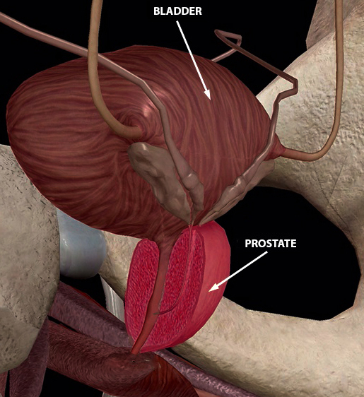 male prostate 3d image