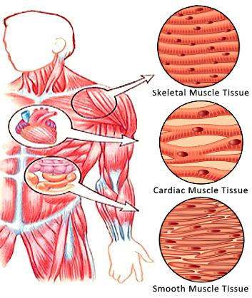SMC and Skelatal